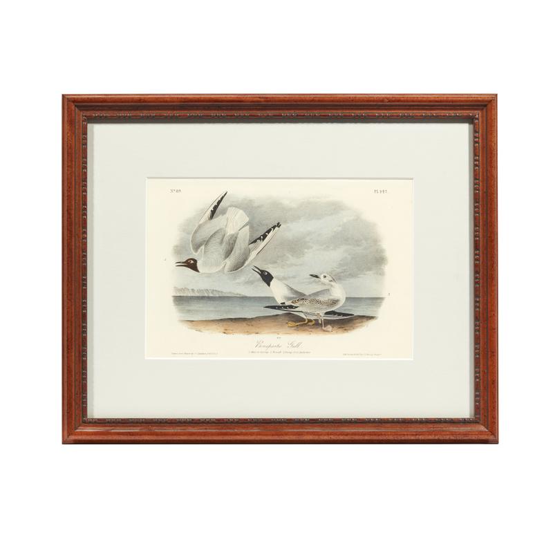 John Audubon Bonapartes Gull No. 442